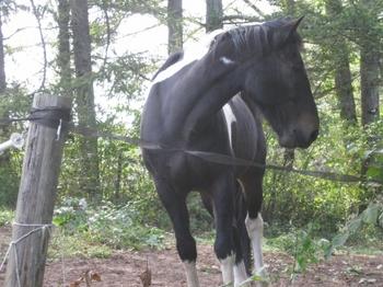 小淵沢の黒い馬 (640x480).jpg